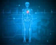 Человеческий скелет с сердцем иллюстрация вектора