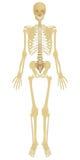 Человеческий скелет Стоковые Фотографии RF