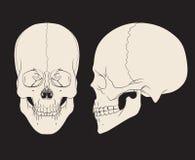 Человеческий череп (мужчина) также вектор иллюстрации притяжки corel Стоковое Изображение