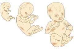 Человеческий эмбрион иллюстрация штока