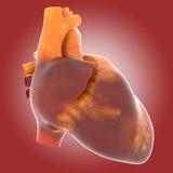 Человеческое сердце в реальном маштабе времени Стоковое фото RF