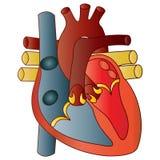 Человеческое сердце Стоковые Фотографии RF