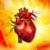 Человеческое сердце Стоковое Изображение RF
