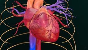 Человеческое сердце стоковое фото