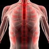 Человеческое тело мышцы с нервюрами Стоковая Фотография RF