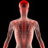 Человеческое тело мышцы с нервюрами Стоковое Фото