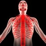 Человеческое тело мышцы с скелетом Стоковое Изображение