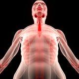 Человеческое тело мышцы с скелетом Стоковое Изображение RF