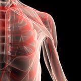 Человеческое тело мышцы с скелетом Стоковая Фотография RF