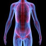 Человеческое тело мышцы Стоковая Фотография RF