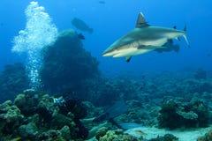 Челюсти акулы серого цвета готовые для того чтобы атаковать портрет underwater близкий поднимающий вверх стоковые фото