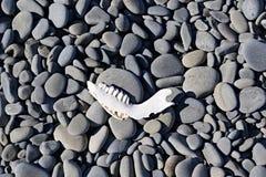 Челюсть на Pebble Beach Стоковое фото RF