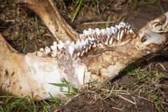 Челюсть оленей Стоковая Фотография