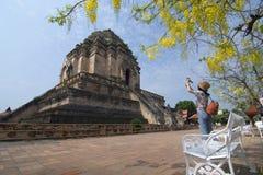 ЧИАНГМАЙ, ТАИЛАНД - 3-ье апреля, сфотографированный путешественником на виске Wat Jedi Luang с желтым цветом дерева золотого ливн стоковое изображение rf