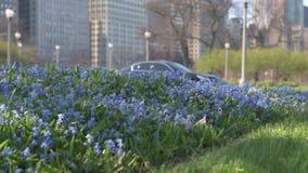 Чикаго городской, парк с голубыми цветками и расплывчатые автомобили в предпосылке акции видеоматериалы