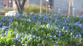 Чикаго городской, парк с голубыми цветками и расплывчатые автомобили в предпосылке сток-видео