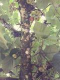 Чилийские смоквы стоковые изображения rf