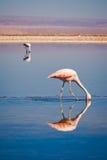 чилийский искать лагуны еды фламингоов Стоковая Фотография RF