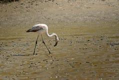 чилийский фламинго Стоковое Изображение