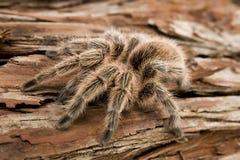 Чилийский Tarantula Rose Стоковые Фотографии RF