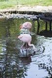 Чилийское звероловство фламинго в воде Стоковое Изображение RF