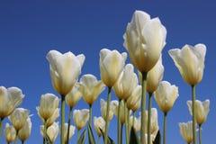 Чистая белизна Зацветая белые тюльпаны с ясным голубым небом стоковое изображение
