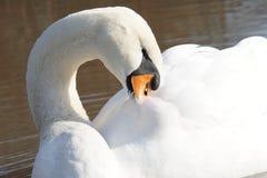 Чистка лебедя Стоковые Фото