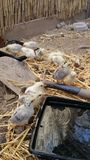 Чистка и Chicking Стоковая Фотография RF