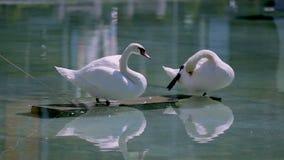 Чистка пар лебедя оперяется в святилище, отражении в воде, последовательности сток-видео