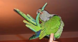 Чистка попугая Стоковое фото RF