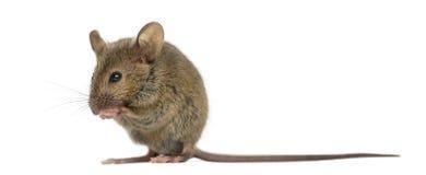 Чистка сама деревянной мыши Стоковое Изображение RF