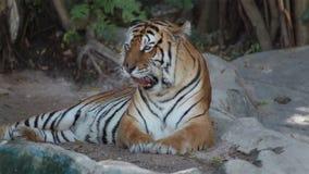 Чистка тигра и волосы холить в одиночку видеоматериал