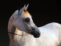 Чистоплеменная аравийская лошадь, портрет dapple серая конематка стоковая фотография rf