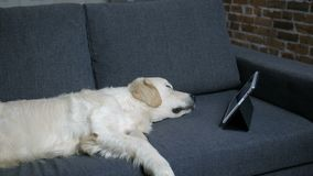 Чистоплеменная собака retriever labrador спать на софе видеоматериал
