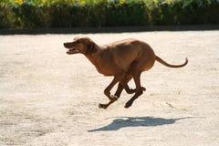 Чистоплеменная собака ridgeback Rhodesian без поводка outdoors в природе на солнечный день Стоковая Фотография