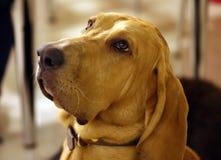 Чистоплеменные месяцы щенка bloodhound 8 старые с симпатичными глазами Стоковое фото RF