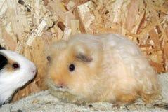 Чистоплеменные морские свинки Стоковые Фото