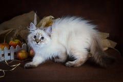 Чистоплеменный красивый кот masquerade Neva, котенок на коричневой предпосылке Сбор овощей и плодоовощей осени в корзинах Стоковая Фотография