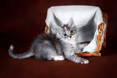 Чистоплеменный красивый кот Suberian, котенок на коричневой предпосылке Сбор овощей и плодоовощей осени в корзинах как Стоковые Фотографии RF