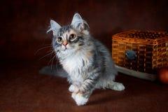 Чистоплеменный красивый кот Suberian, котенок на коричневой предпосылке Сбор овощей и плодоовощей осени в корзинах как Стоковое Фото