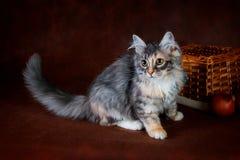 Чистоплеменный красивый кот Suberian, котенок на коричневой предпосылке Сбор овощей и плодоовощей осени в корзинах как Стоковая Фотография