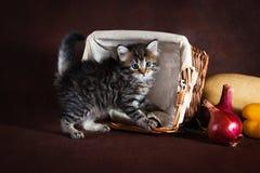 Чистоплеменный красивый кот Suberian, котенок на коричневой предпосылке Сбор овощей и плодоовощей осени в корзинах как украшение Стоковое Изображение
