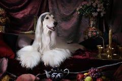 Чистоплеменная белая собака афганской борзой Стоковые Изображения RF