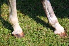 Чистоплеменная молодая скаковая лошадь показывая подковы во время тренировки Стоковое Фото