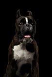 Чистоплеменная собака боксера изолированная на черной предпосылке Стоковое Фото