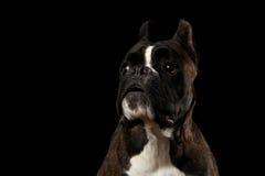 Чистоплеменная собака боксера изолированная на черной предпосылке Стоковая Фотография
