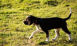Чистоплеменная собака щенка бигля идя на траву Стоковые Фотографии RF