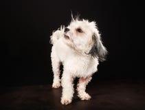 Чистоплеменная собака Havanese Стоковые Фотографии RF