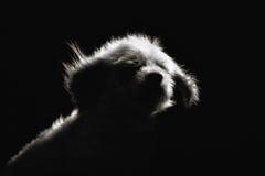 Чистоплеменная собака Havanese Стоковые Изображения RF