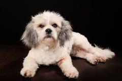 Чистоплеменная собака Havanese Стоковые Изображения